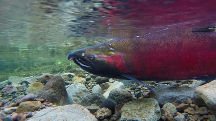 salmon-in-me